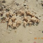 Conch shells we dug up