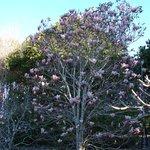 Magnolia at Noosa Botanic Gardens