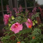 Hibiscus is now in bloom
