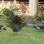 Peacocks roaming freely