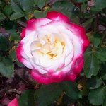 Roses in the rose garden