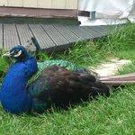 Peacock Outside Yurt
