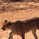 Older cheetahs we visited their area via an open jeep