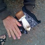 large mushrooms found in SF GG Park around Dutch Windmill area