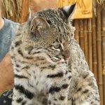 Bobcat talk