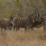 Zebra sighting