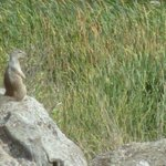 Ground squirrel acting as sentry