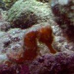 Sea Horse found in Bellafonte Reef