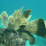 Sea fan, gorgone éventail