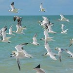Terns at Ding Darling Preserve/Beach