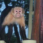 One of the monkeys who visits each morning