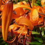 Turk's Cap lily at Glenwhan