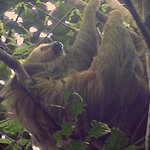 The two toed sloth discovered by Gerardo on our Bird Watching Expedition