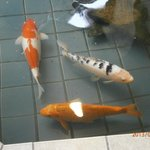 Koi fish in the lobby