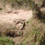 resident crocodile