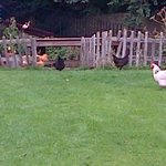 the garden/chickens