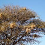 Mafikeng Game Reserve - Weaver's Nests at the Entrance