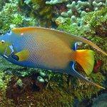 Gorgeous Queen Angelfish