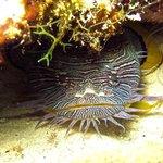 Splendid Toadfish found only in Cozumel