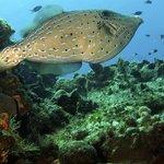 Very Large Scrawled Filefish