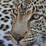 Simbambili's leopard are flat-out amazing