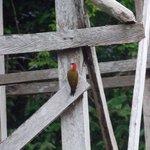 Woodpecker (Chestnut?)