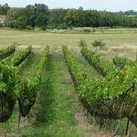 Grape Vines at Coffin Ridge