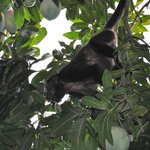 Howler monkeys in the mango tree on the grounds of Waltini's!!