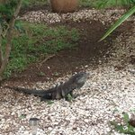 One of the lizards around the grounds