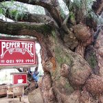 The old Pepper Tree