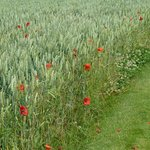 Poppies in the fields of the Somme.