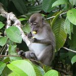 Long Tailed Macaque from the river