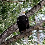 Bald Eagle while rafting Snake River