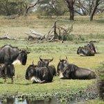 wildebeest on nearby Crescent Island