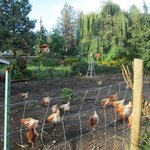 free range chickens = fresh eggs