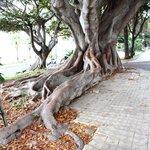 Ficus Magnolioides, albero di grandi dimensioni, maestoso, dalle radici ramificate. Sul lungomar