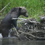 Bear Viewing Tour