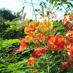 Pride Of Barbados National Flower