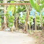 Banana plantation Quirigua