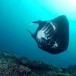 Diving Manta Reef