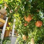 Pomegranites growing on Eden Garden trees
