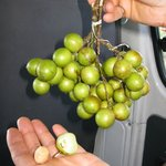 Sampling fresh, juicy, Quenepa's
