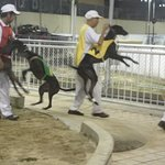 A Trainer hauling a greyhound gingerly onto the race track, some doggies are relectant