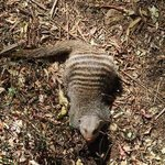 resident mongoose