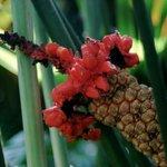 Toquilla Palm Flower
