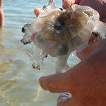 innocua medusa spiaggiata