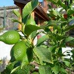 Le citronnier du jardin
