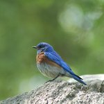 Western Bluebird at Sonoma Plaza