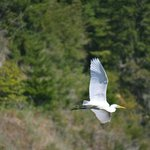 white crane in flight