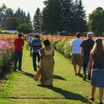 rows upon rows upon rows of different dahlias.